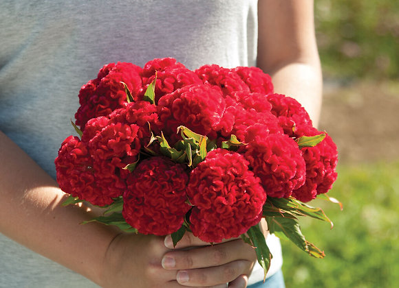 Celosia, Chief Red Flame