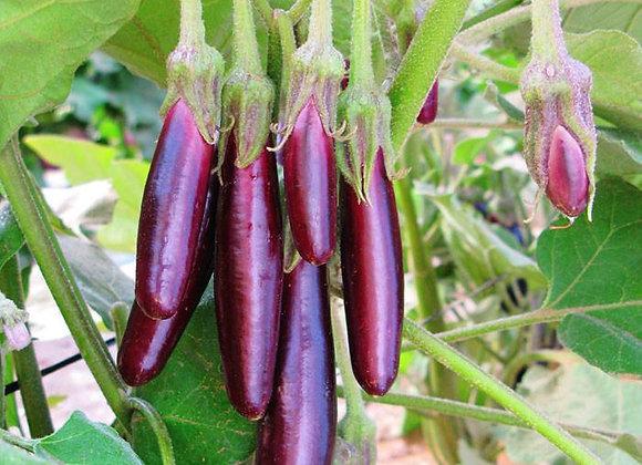 Eggplant, Shyamala