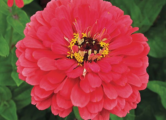 Zinnia, Giant Coral