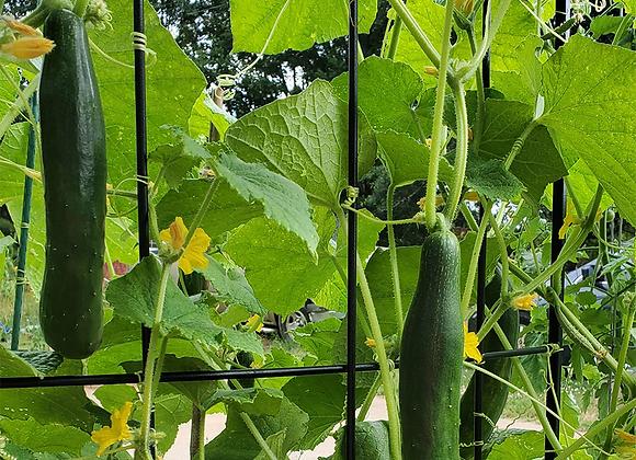 Cucumber, Aonaga Jibai