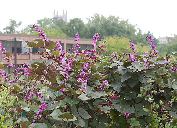 Bean (Hyacinth), Ruby Moon