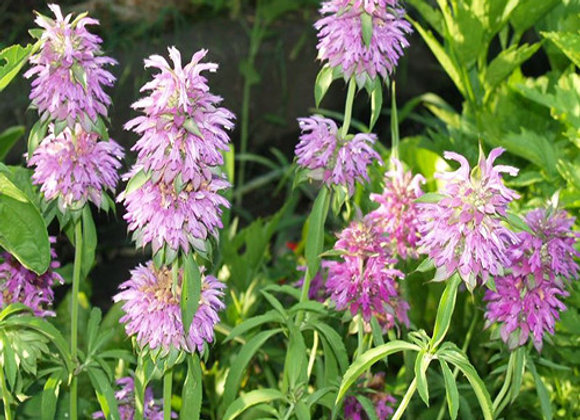 Bee Balm, Lemon