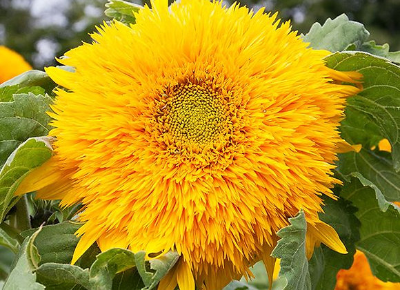 Sunflower, Goldy Double