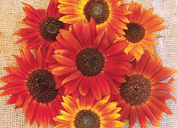 Sunflower, Autumn Beauty Blend