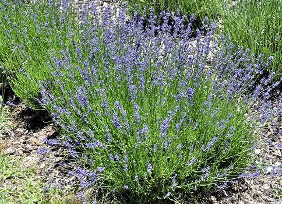 Lavender, Hidcote Blue