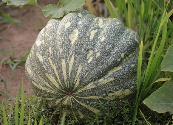 Pumpkin, Amir