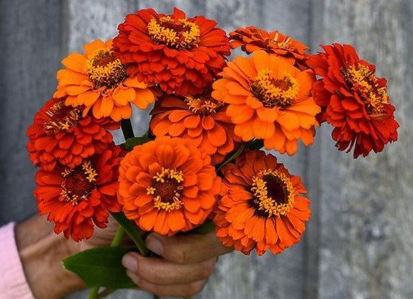 Zinnia, Queeny Pure Orange