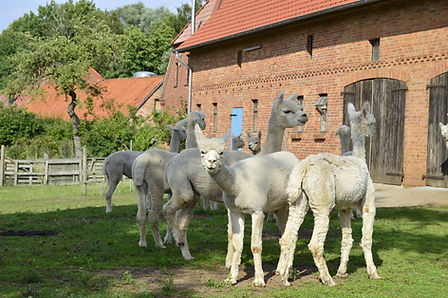 Alpakas auf Hof Birkenkamp