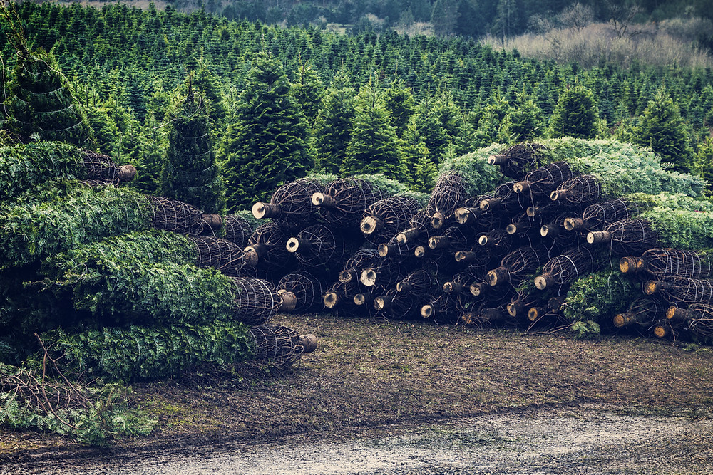 Fresh Christmas trees cut and stacked, ready for the Christmas rush