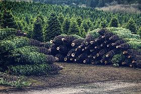 クリスマスツリーファーム