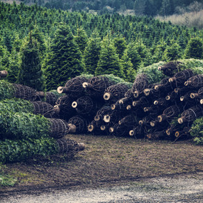 Which Is More Sustainable: Live Vs. Artificial Christmas Trees?