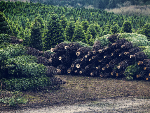 How to get rid of a Christmas Tree responsibly