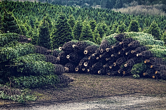 Live Cut Christmas Trees