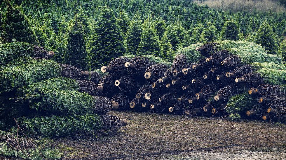 Nordmann Fir Christmas Tree (£6.25 per foot)