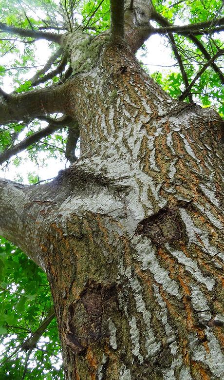 worms eye view tree.jpg