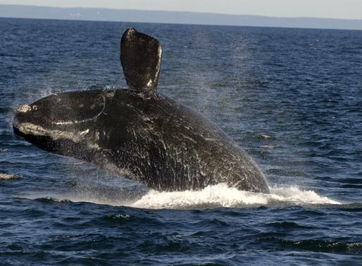 Protection des baleines noires : les navires Canadiens ne réduiraient pas leur vitesse