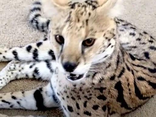 Après avoir payé 9000$ pour un chat Savannah, un couple réalise que c'est en fait un tigre