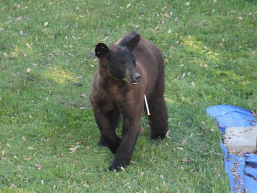 L'ourson de Dorval a été euthanasié