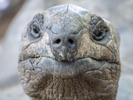 Une nouvelle réintroduction de tortues géantes sur les îles Galapagos