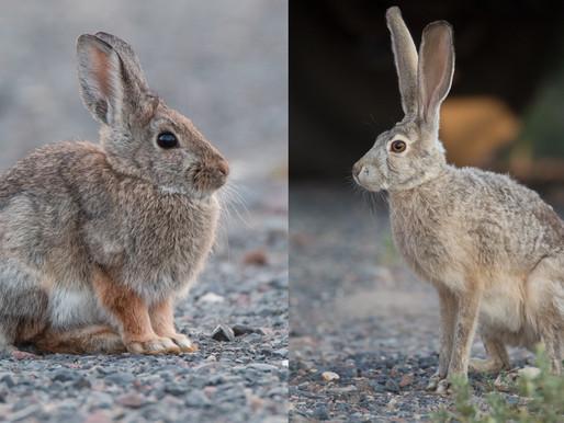 La différence entre un lièvre et un lapin