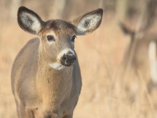 La Ville de Longueuil tuera la moitié des cerfs du parc Michel-Chartrand