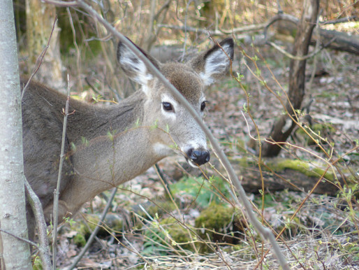 Longueuil ne change pas d'idée concernant l'élimination des cerfs