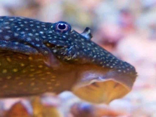 Tout savoir sur les poissons nettoyeurs d'aquarium