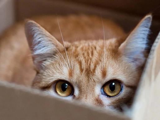 Comment la douleur peut affecter les comportements de votre chat?