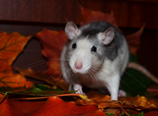 Les 6 mythes les plus courants sur les rats domestiques