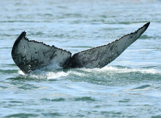 Baleine de Montréal : Est-ce que nous aurions pu intervenir ?