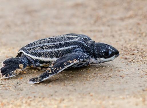COVID-19 : En raison du confinement, les tortues pondent plus d'œufs sur les plages en Thaïlande