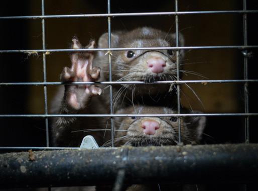 Le Canada et la cruelle industrie de la fourrure