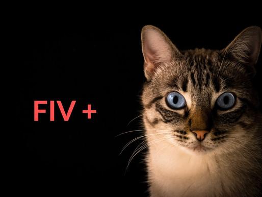 Tout savoir sur le virus de l'immunodéficience féline (FIV)