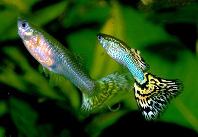 La pollution sonore pourrait fragiliser la santé des poissons