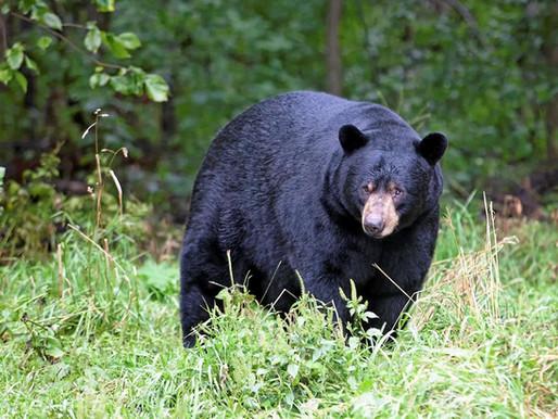 Les ours du Canada