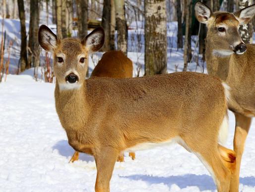 Longueuil renonce à abattre les cerfs du parc Michel-Chartrand
