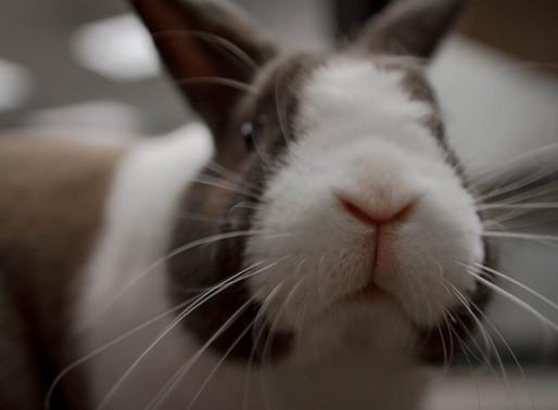 Le ralentissement / l'arrêt du transit chez le lapin