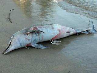Vírus causou morte de golfinhos nas baías de Ilha Grande e de Sepetiba