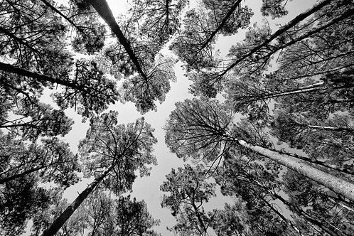 Newlands Forest II