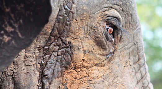 Deep in Thought - Wildlife elephant photography Image