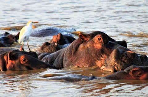 Hippo and Egret wildlife photography
