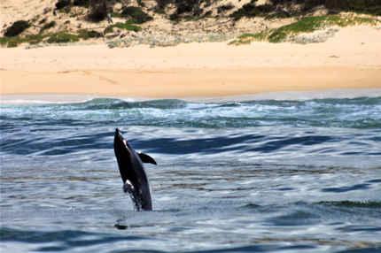 Humpback Dolphin photography