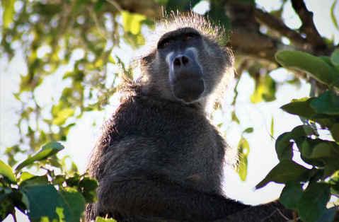 Baboon / Bobejaan Wildlife photography