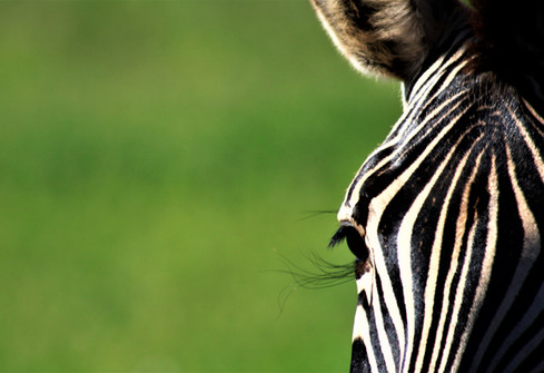Wildlife zebra photography