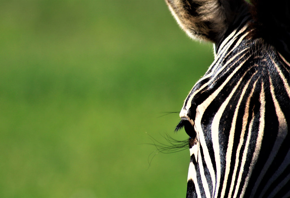 Zebra Pet Photography in Cape Town SA