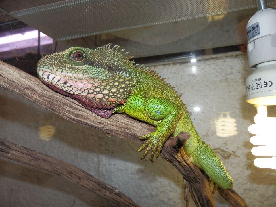 Dragon d'eau Physignathus cocincinus