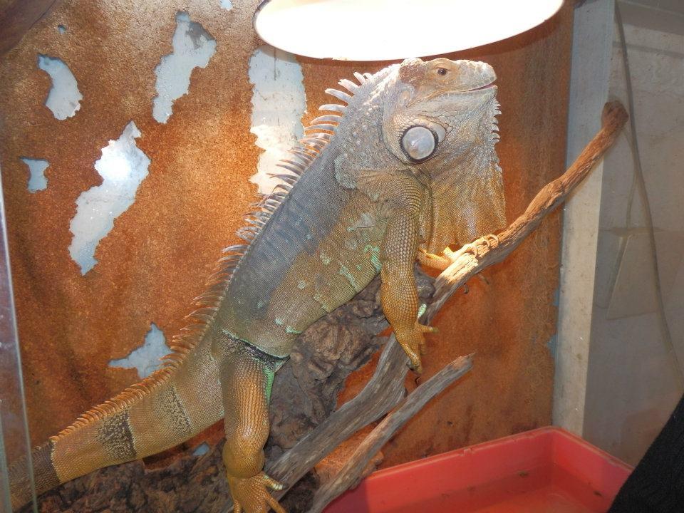 Iguane Iguana iguana
