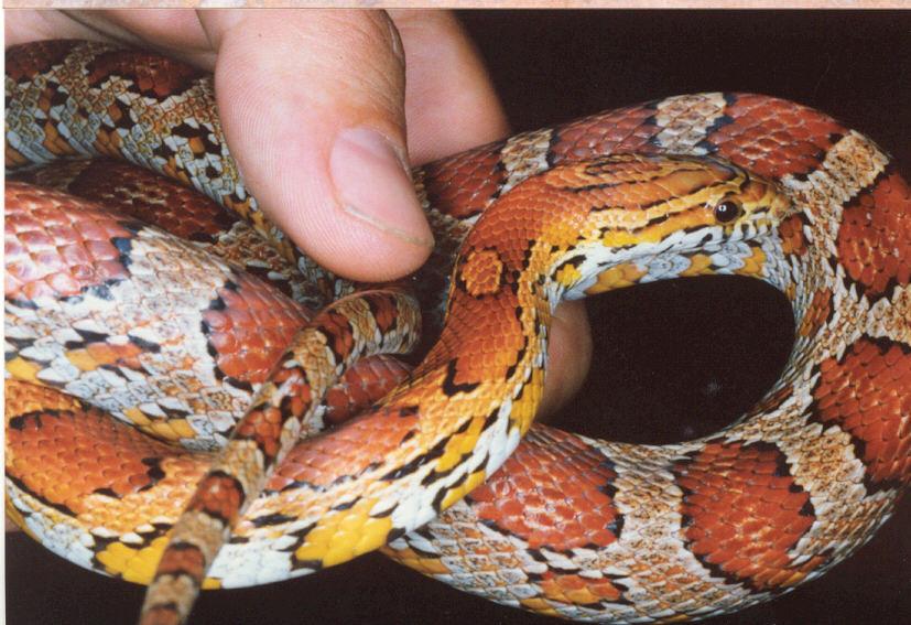 Serpent maïs Elaphe guttata