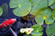 Koi fish lilly pads