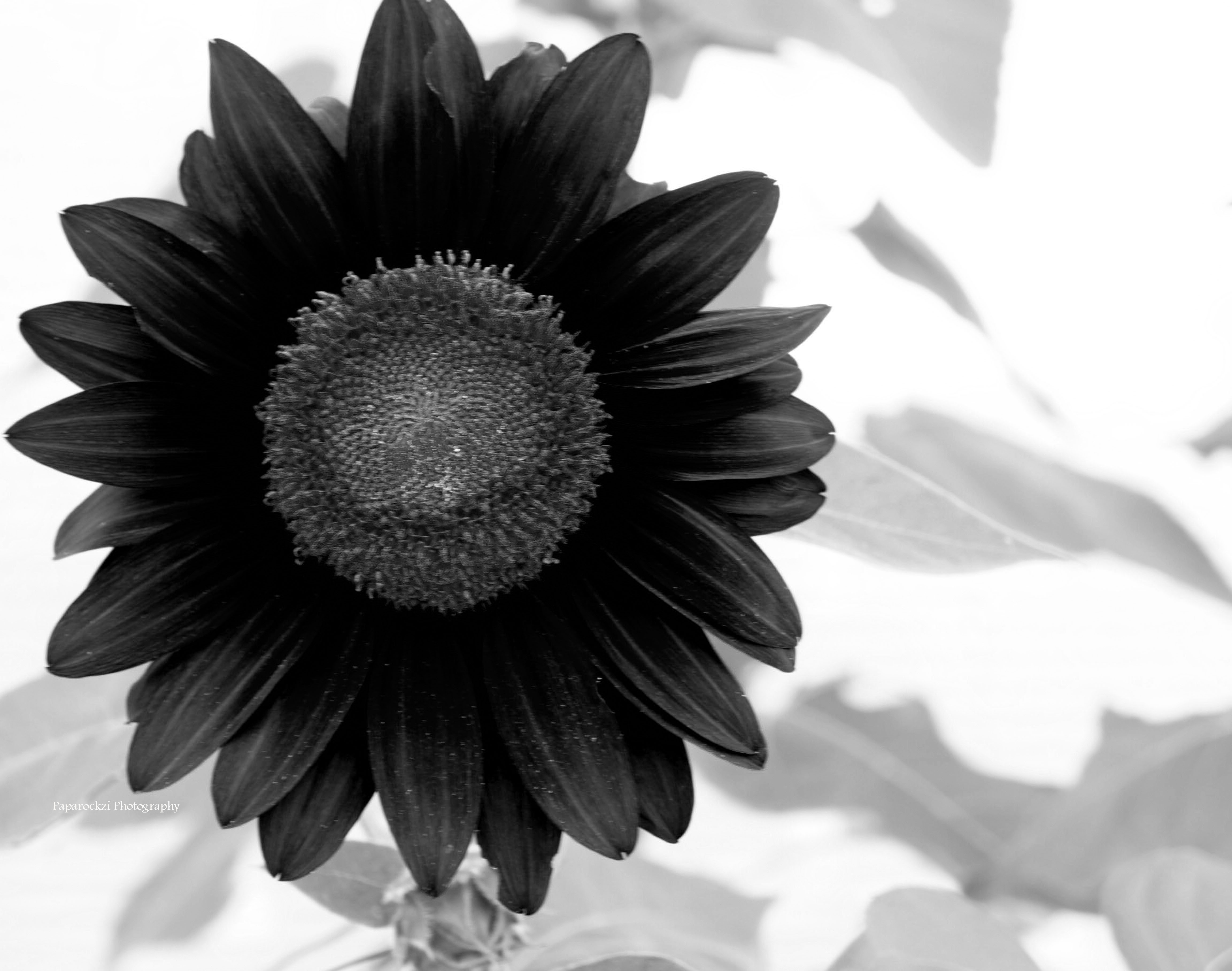 Reversed Sunflower
